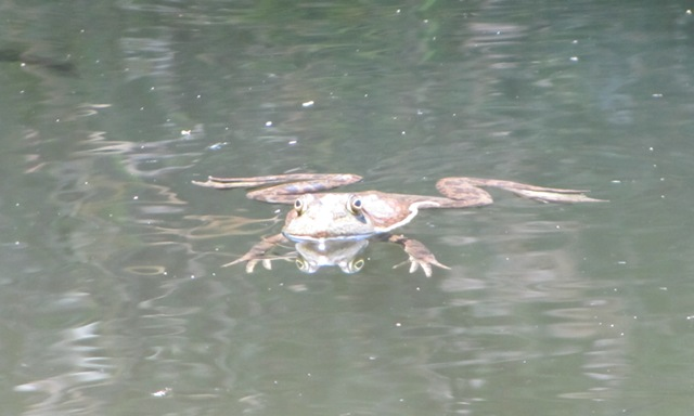 FrogSwimm
